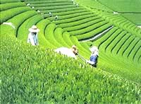 Japanese green tea  plantation